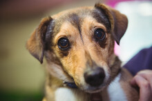 Portrait Of Jack Russell Terrier Pet Dog Held By Owner At Home, Looking To Camera