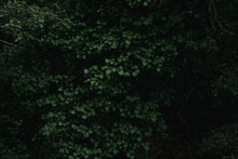 Full Frame Background Of Green Leaves Of Tree Growing In Dark Forest At Daytime