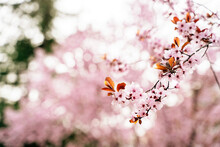 Blossoming Tree Branch With Pale Pink Flowers With Pleasant Aroma Growing In Spring On Blurred Background