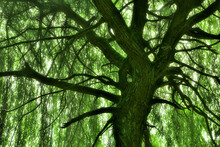 From Below Old Willow Tree In Forest During Spring Day