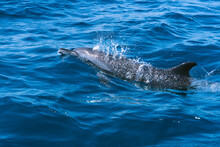 Dolphins With Pointed Fins And Beaks Swimming In Blue Ocean Water With Foam In Daylight