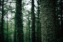 Tall Coniferous Trees With Lichen On Trunks Growing In Dense Woodland On Cold Weather