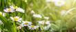 Leinwandbild Motiv daisies in the grass with sun light