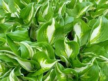 Green Leaves Background. Green Garden Plant With Big Leafs Natural Background. Hosta Undulata Mediovariegata Emerald Green Plant In Park.