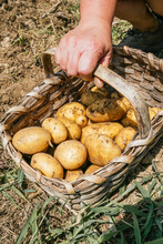 From Above Of Crop Anonymous Gardener With Wicker Basket Full Of Raw Yellow Potatoes In Countryside