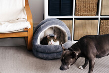 American Staffordshire Terrier With Brown Coat Against Cat In Soft House On Rug In Daylight