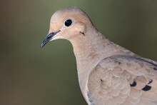 Close Profile Of A Mourning Dove While Perched On A Branch