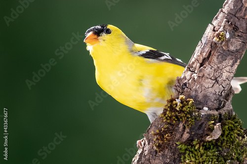 Stampa su Tela American Goldfinch Perched in the Tree Branches