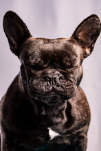 Obedient French Bulldog With Dark Fur With Closed Eyes Against Light Purple Background
