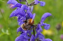 Biene Flug Honig Gold Flauschig Makro Micro Nahaufnahme Blütenstaub