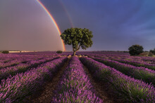 Majestic Scenery Of Blooming Lavender Flowers And Green Tree Growing In Field Under Rainbow In Cloudy Sky