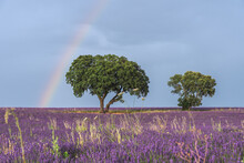 Majestic Scenery Of Blooming Lavender Flowers And Green Tree Growing In Field Under Rainbow In Blue Sky