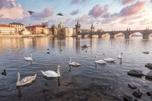 Flock Of Graceful Swans Floating On Calm Surface Of River In Old City Under Sunset Sky