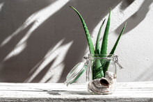 Green Aloe Vera Leaves Placed In Glass Jar With Seashells On Table On White Background