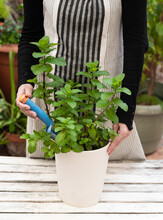Crop Woman Planting Mint In Garden