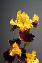 Bearded King Iris
