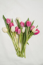 Top View Of Fresh Pink And White Tulip Flowers Arranged On White Background In Studio