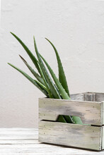 Green Aloe Vera Leaves Placed In Wooden Container On Table On White Background