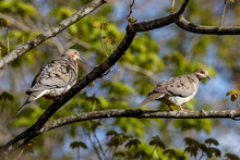 Pair Of Mourning Doves (Zenaida Macroura) Perched On A Tree Limb During Spring. Selective Focus, Background Blur And Foreground Blur.