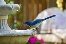 Exquisite Blue Jay Drinking From Bird Bath Fountain Droplets Of Water Falling From Its Beak