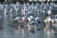 Flamingos In The Al Qudra Lakes In The Desert Of Dubai - UAE