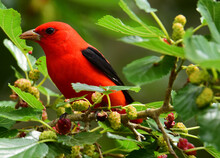 A Striking Male Scarlet Tanager Perched In A Mulberry Tree During Spring Migration At Smith Oaks Sanctuary On High Island, Near Winnie, Texas