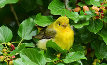 A Pretty Yellow Female Scarlet Tanager Perched In A Mulberry Tree During Spring Migration At Smith Oaks Sanctuary On High Island, Near Winnie, Texas