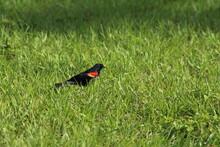 Red Wing Black Bird In Green Grass