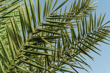 Palm Leaves Branches Against Blue Sky Background