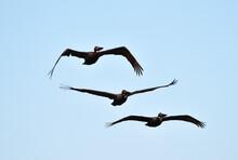 Three Brown Pelicans Flying