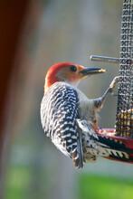 Red-Bellied Woodpecker At Bird Feeder