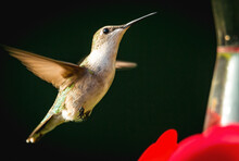 Ruby-Throated Hummingbird At The Feeder