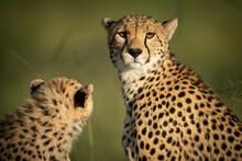 Close-up Of Cheetah Eyeing Camera With Cub