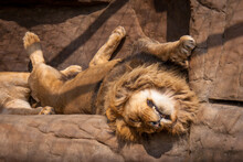 A Sleeping Lion In A Zoo
