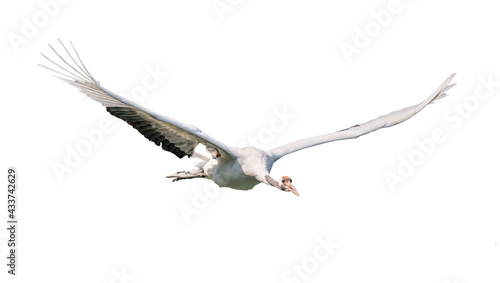 Fotografiet Red-Crowned crane isolated on white