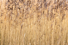 Abstract Background Close Up Of Common Reeds In The Winter Sun