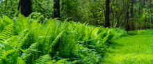 Pathway In Deep Forest Through High Fern And Wild Grass, Panoramic Shot