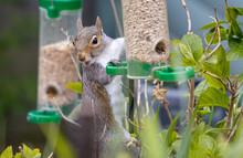 Cute Squirrel Eating Sunflower Seeds From A Birdfeeder