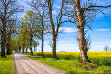 Beautiful Tree Lined Dirt Road At A Flowering Rapeseed Field