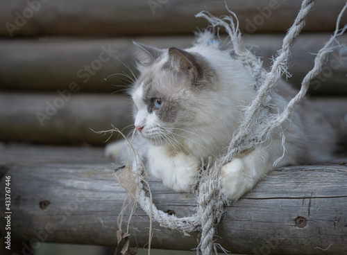 White long haired cat playing in a timber treehouse. Fototapeta