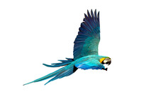 Macaw Parrot Fly In Dark Green Vegetation. Scarlet Macaw, Ara Macao, In Tropical Forest. On A White Background