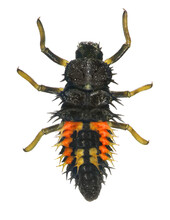 Ladybug (ladybird), Harmonia Axyridis (Coleoptera: Coccinellidae). Larva. Dorsal View. Isolated On A White Background