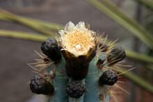Sydney Australia, Cream Flowers And Bud Of A Blue Columnar Cactus