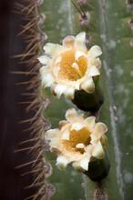 Sydney Australia, Cream Flowers Of A Blue Columnar Cactus