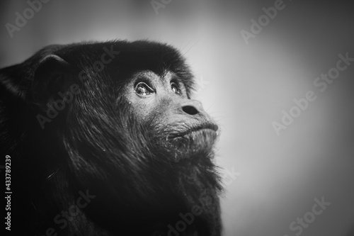 Canvas Sad monkey portrait black and white
