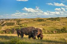 Bison In The Theodore Roosevelt National Park - North Unit  - North Dakota Badlands - Buffalo