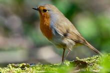 European Robin, Known Simply As The Robin Or Robin Redbreast, Erithacus Rubecula