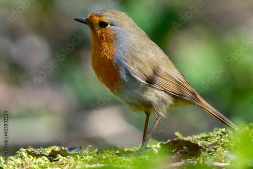 Obraz na plátně European robin, known simply as the robin or robin redbreast, Erithacus rubecula
