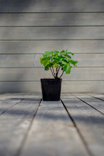 Large-leaved Hydrangea Flower On A Wooden Terrace. Flower In A Black Pot On A Beautiful Blurred Gray Background.