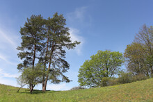 Small Cluster Of Pine Trees On A Slope